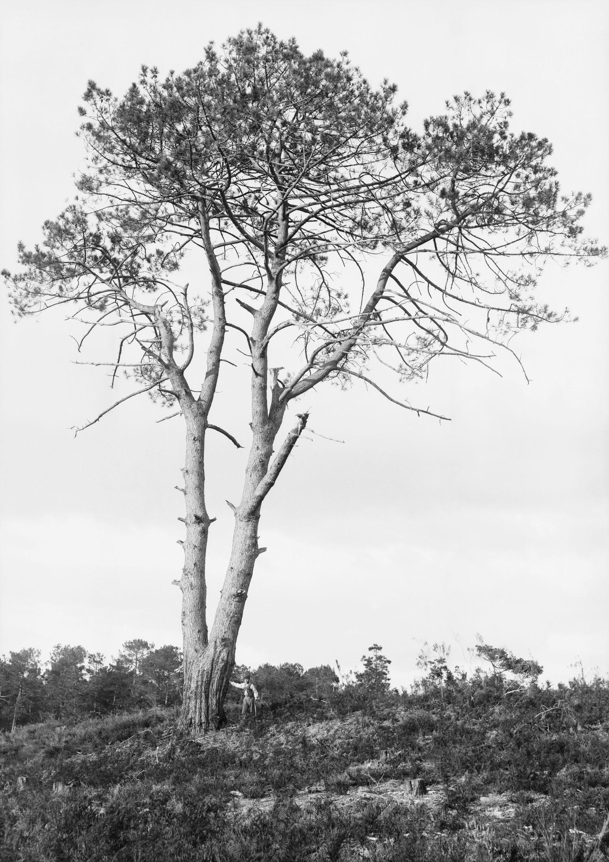 Musée d'Aquitaine, Bordeaux. ©Félix Arnaudin. Grands pins de Guentes, 8 octobre 1890. N° d'inventaire 66-27-919